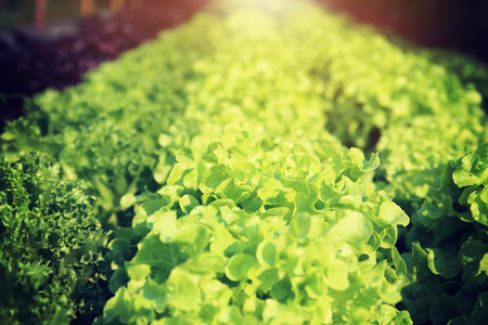 fertile: Rows of fresh lettuce plants on a fertile field Stock Photo