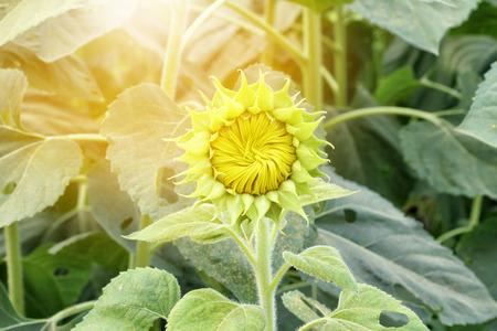 Sunflower bud against sunflower blossoming