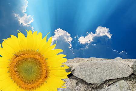 The background of sky and stone walls with a sunflower. Stock Photo
