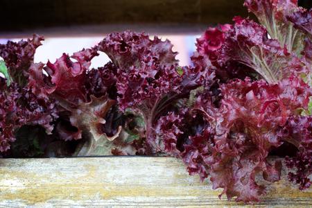 Red Oakleaf Lettuce, Home grown organic lettuce ready for harvest