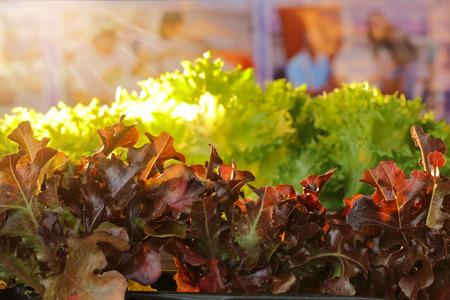Red oakleaf lettuce, corrugated lettuce on entire background