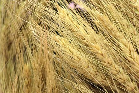 organic Barley dry rice wheat grains texture background