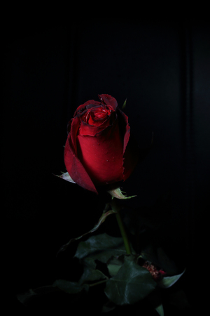 Rose in the dark red tone on black background