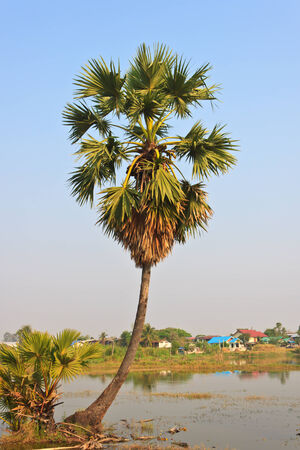 palmyra palm: Asian Palmyra palm, Toddy palm, Sugar palm Stock Photo