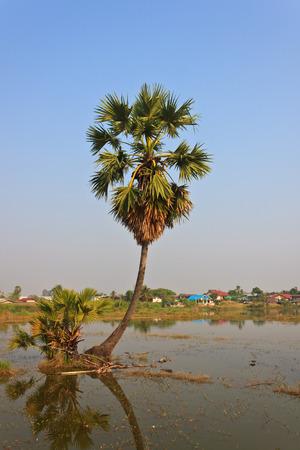 Asian Palmyra palm, Toddy palm, Sugar palm photo