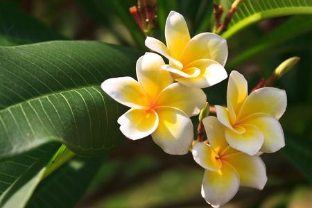 プルメリア (フランジパニ) ラ レユニオン島の木の花