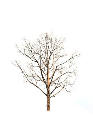 Dead and dry tree is isolated on white background photo