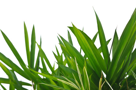 bamboo tree: bamboo leaves isolated on white background
