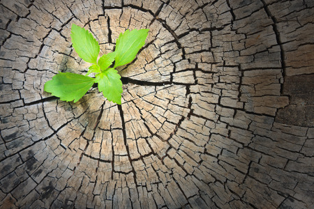 renewal: New development and renewal as a business concept of emerging leadership success as an old cut down tree Stock Photo