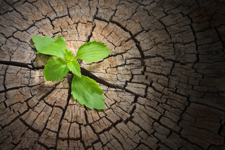 New development and renewal as a business concept of emerging leadership success as an old cut down tree Standard-Bild