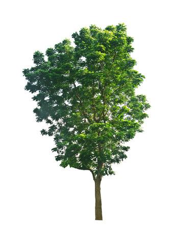 big tree: isolated tree Stock Photo