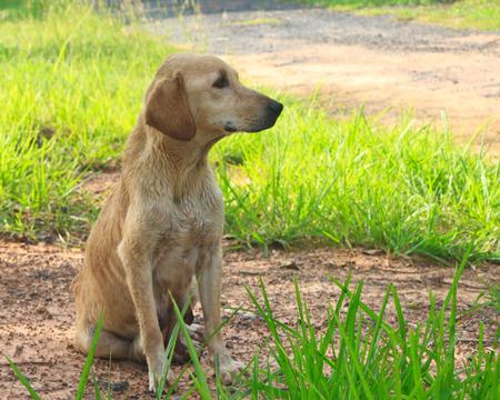 Thailand Dog photo