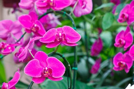 jejunum: Beautiful purple orchid - phalaenopsis