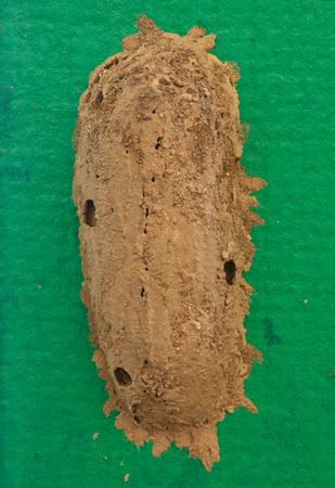 hymenoptera: Ceriana wasp, Wasp-mimic Hoverfly (Hymenoptera Ceriana sp) nest on the wall.