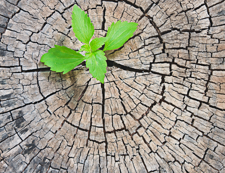New development and renewal as a business concept of emerging leadership success as an old cut down tree Stock Photo