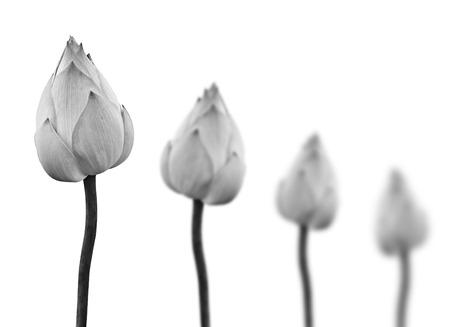 白い背景に分離された黒と白の蓮の花。