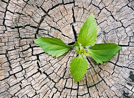 Nieuwe ontwikkeling en vernieuwing als een business concept van opkomende leiderschap succes als een oude bezuinigen boom Stockfoto