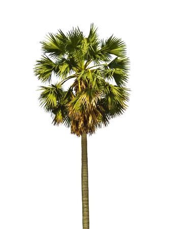 tropical tree: Az�car palmera, o un �rbol tropical en el noreste de Tailandia aislados sobre fondo blanco. Foto de archivo