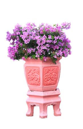 color bougainvillea: bougainvillea flower plant in pot over white