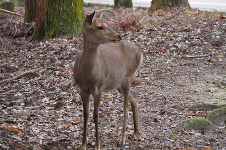 nara: Deer at Nara Japan