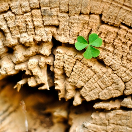 Clover on an old tree stump photo