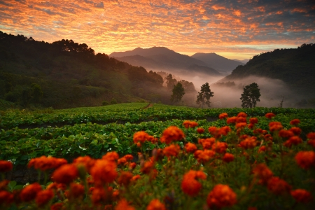 Strawberry field on the mountain in the morning Stock Photo - 24539834