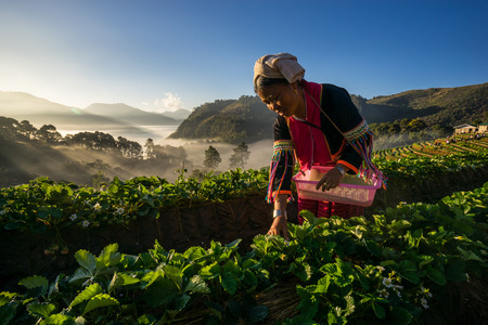 season specific: CHIANGMAI , THAILAND - DEC. 28: An unidentified woman Harvests Strawberry in Strawberry plantation field, season specific in Chiangmai\\