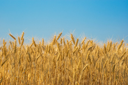 autumn sky: wheat field with clear blue sky background.