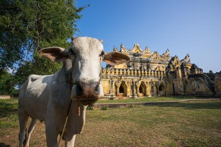 maha: Cow at Maha Aung Myi Bon Zan Monastery in Inwa (ancient city of Ava) Stock Photo