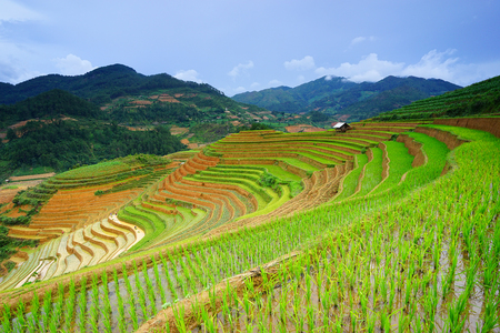 agriculture landscape: Rice fields on terrace in rainy season at Mu Cang Chai, Yen Bai, Vietnam. Rice fields prepare for transplant at Northwest Vietnam