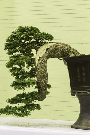 ingenuity: Bonsai for pleasant and ingenuity  Stock Photo