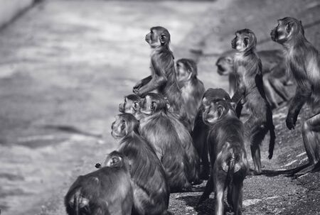 simian: Macaques in the Heidelberg Zoo Stock Photo