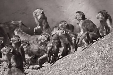 Macaques in the Heidelberg Zoo photo