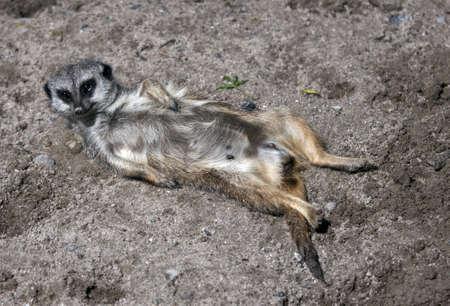 Meerkat (Suricata suricatta), lying in the sun photo