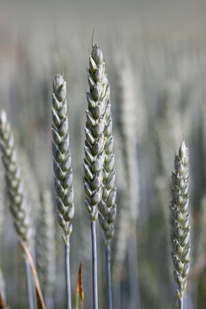 Fields of Wheat at the beginning of summer, not ripe yet photo