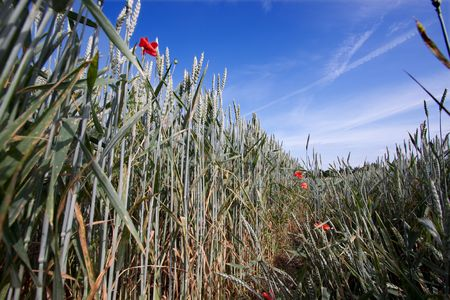 Fields of Wheat at the beginning of summer, not ripe yet Stock Photo - 5049751