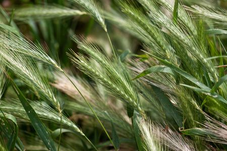 Fields of Barley at the beginning of summer, not ripe yet photo