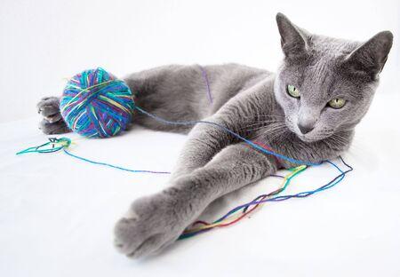 is playful: Retrato de un gato ruso azul, con una bola de lana Foto de archivo
