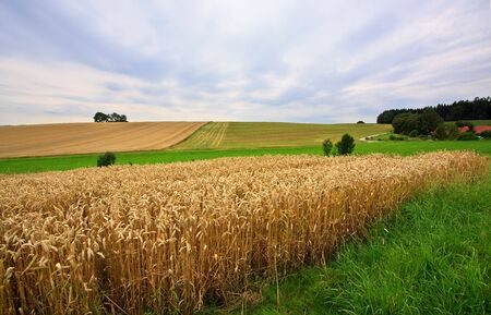 Fields of Wheat at the end of summer, fully ripe Stock Photo - 5405815