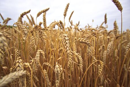 Fields of Wheat at the end of summer, fully ripe Stock Photo - 5405827
