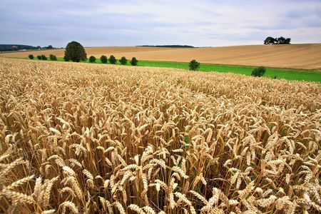 Fields of Wheat at the end of summer, fully ripe Stock Photo