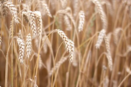 Fields of Wheat at the end of summer, fully ripe Stock Photo - 5405829