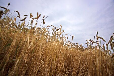 Fields of Wheat at the end of summer, fully ripe Stock Photo - 5423149