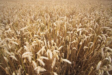 Fields of Wheat at the end of summer, fully ripe Stock Photo - 5423148