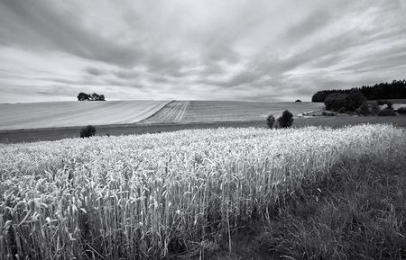 Fields of Wheat at the end of summer, fully ripe Stock Photo - 5519254