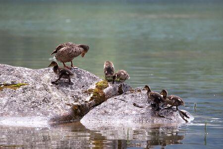 platyrhynchos: Wild Mallard (Anas platyrhynchos) with ducklings swimming in water in summer Stock Photo