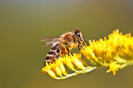 apis: European Honeybee, Apis mellifera, on Flower in summer Stock Photo