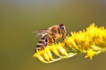 mellifera: European Honeybee, Apis mellifera, on Flower in summer Stock Photo