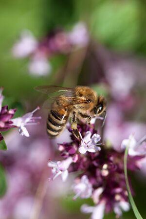 European Honeybee, Apis mellifera, on Flower in summer Stock Photo - 5551152