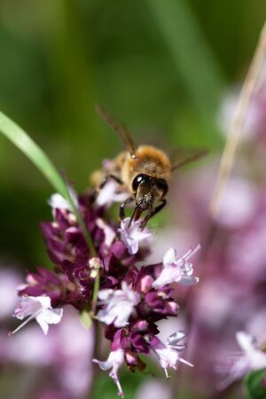 European Honeybee, Apis mellifera, on Flower in summer Stock Photo - 5551150